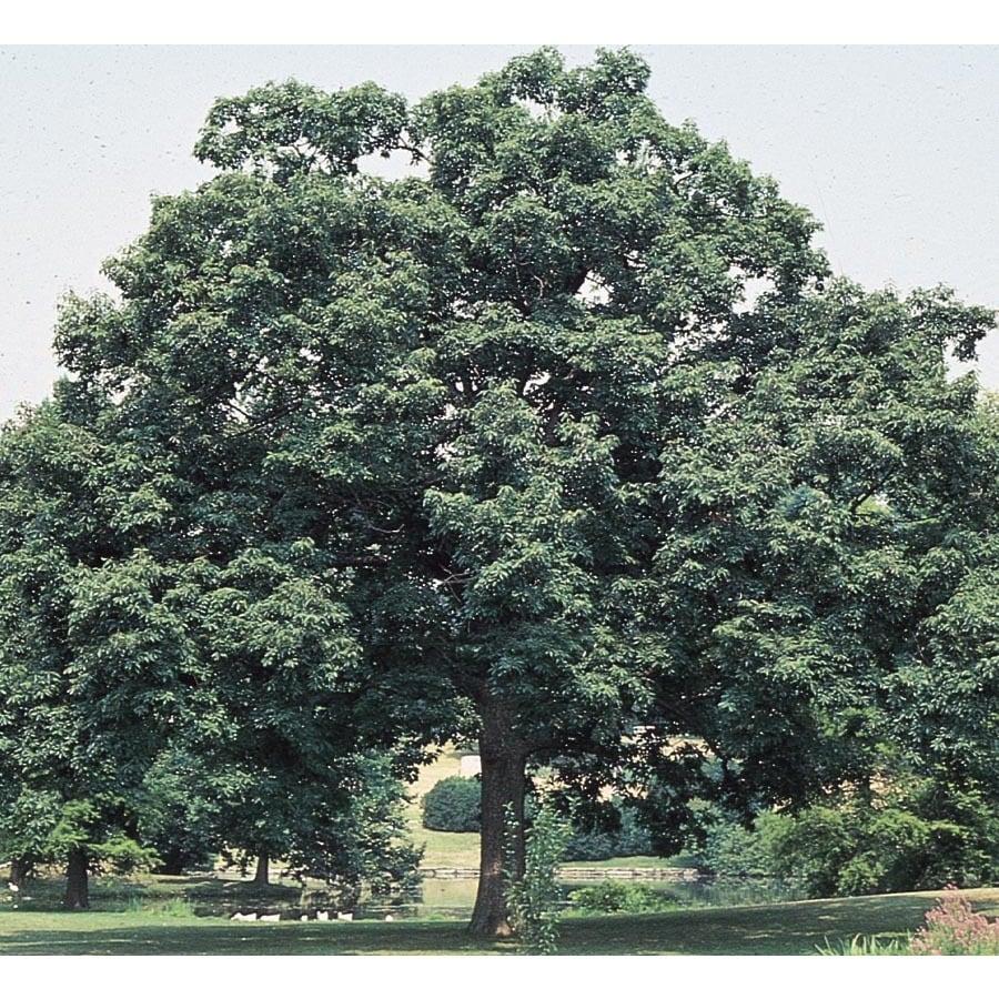 45.28-Gallon Chinquapin Oak Shade Tree (L5853)