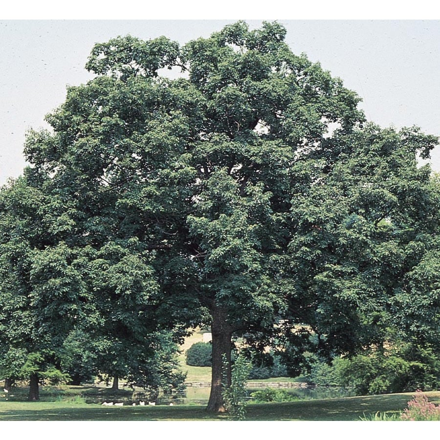 92.99-Gallon Chinquapin Oak Shade Tree (L5853)