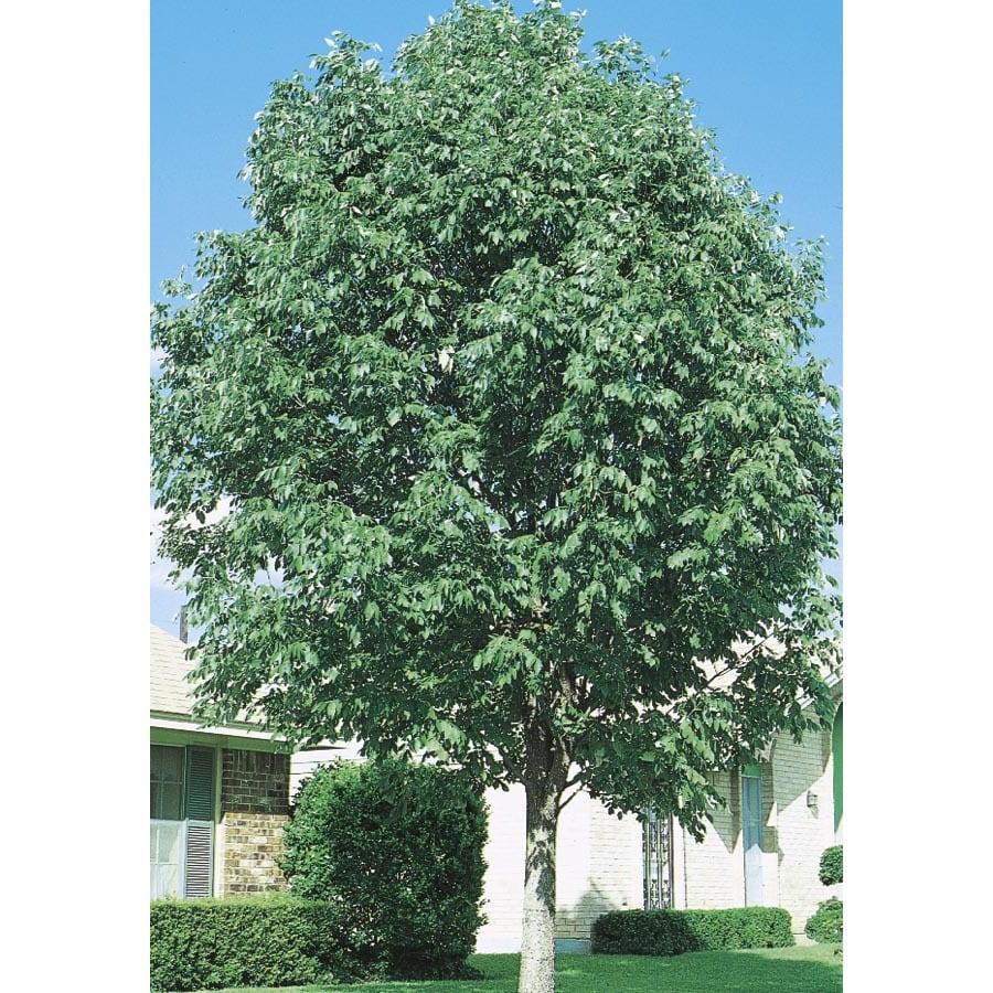 3.74-Gallon Texas Ash Shade Tree (L4488)
