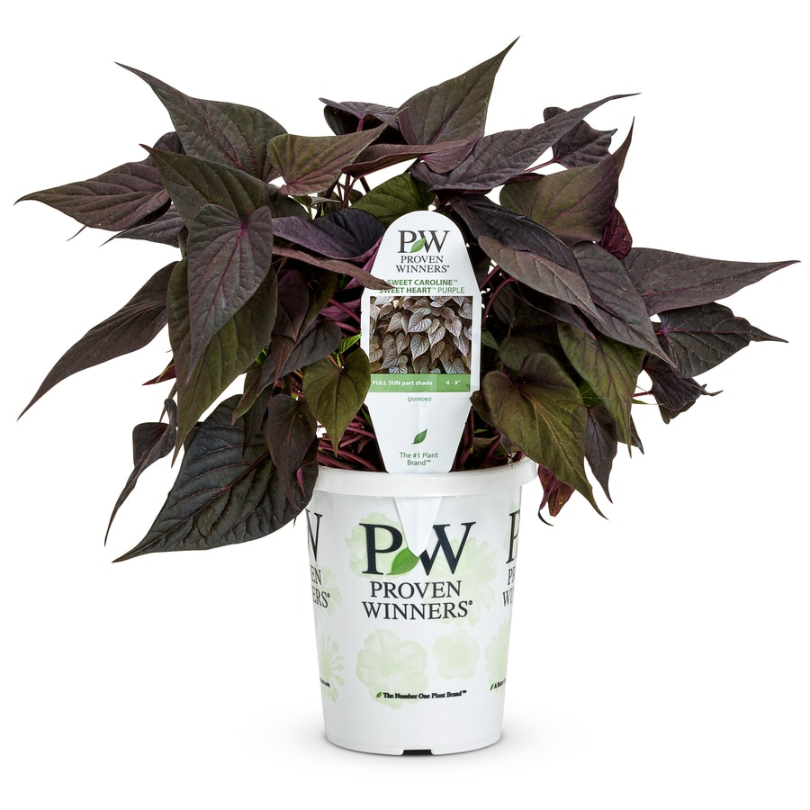 1.56-Pint Sweet Potato Vine