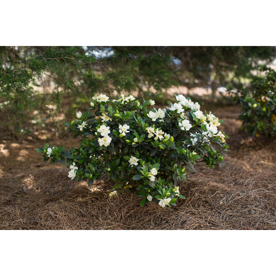 3-Gallon Sweet Tea Gardenia
