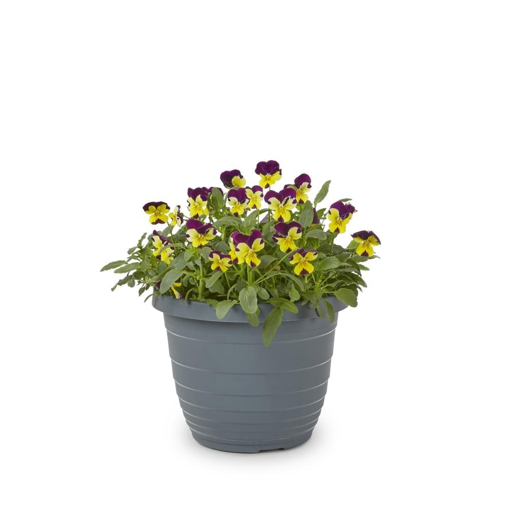 1.5 Gallon(S) Pansy (L5048)