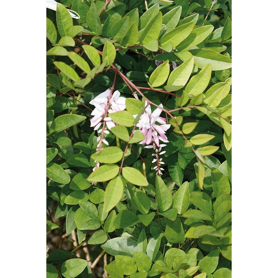 2-Quart Pink Chinese Indigo Accent Shrub (Lw02533)