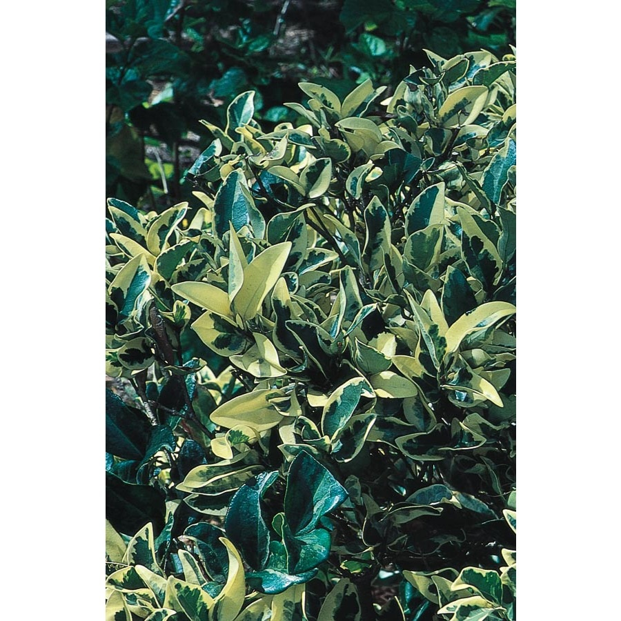 2-Quart White Variegated Ligustrum Foundation/Hedge Shrub (L3877)