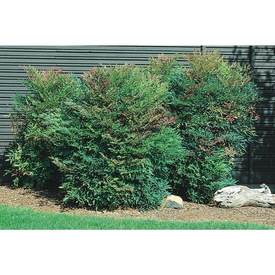 2-Quart White Compact Heavenly Bamboo Accent Shrub (L5196)