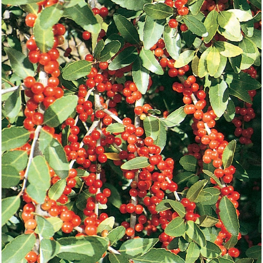 3-Gallon White Pride Of Houston Yaupon Holly Feature Shrub (L3522)