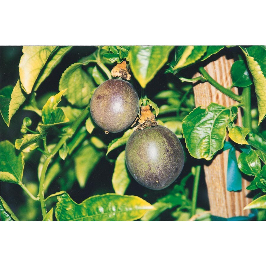 2.5-Quart Passion Fruit Small Fruit (L22752)
