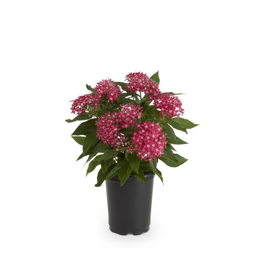shop 1 quart s pentas l3331 at lowes com