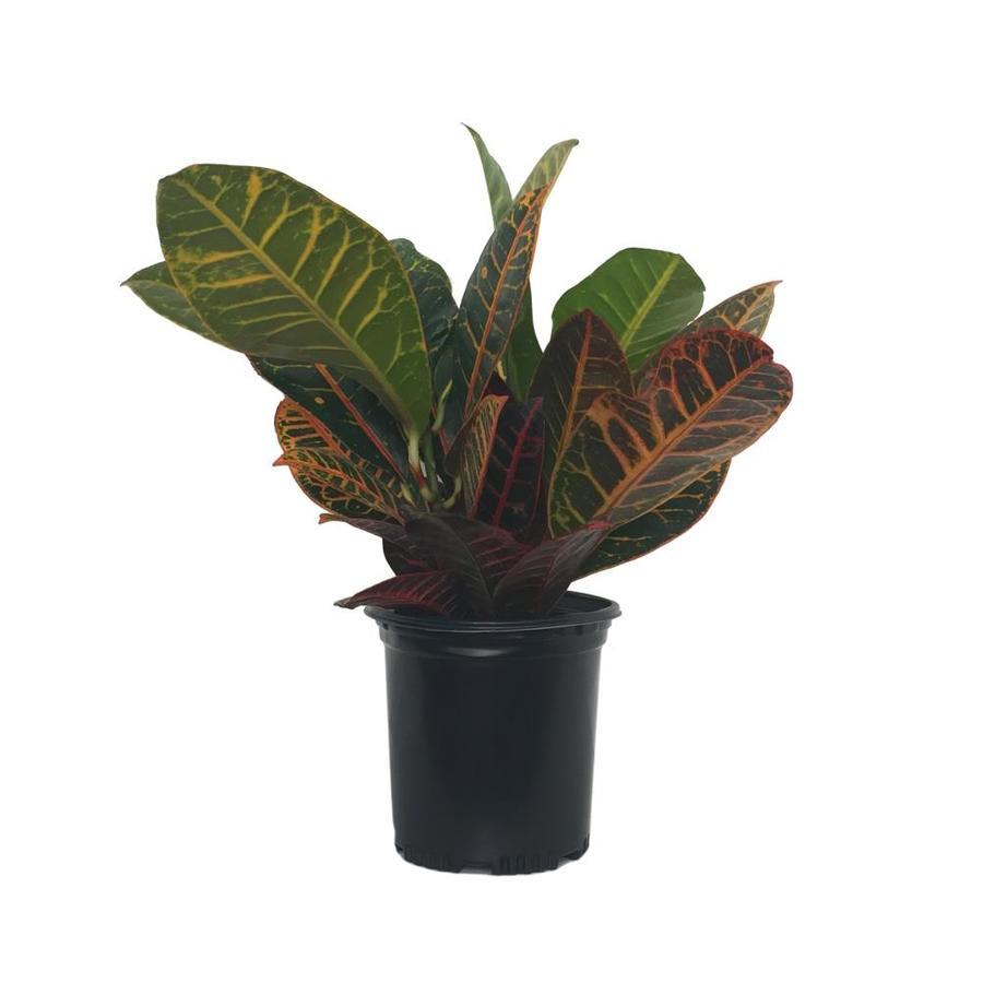 2.5-Quart Assorted Croton (L5448)