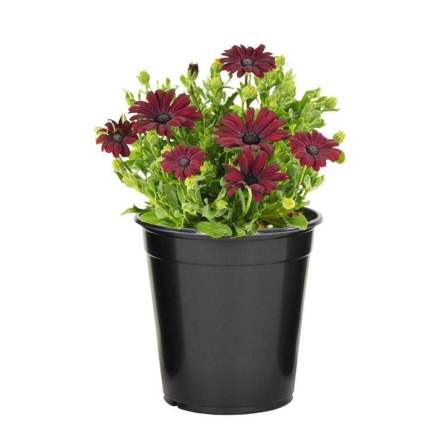 Shop 25 quart african daisy l11796 at lowes 25 quart african daisy l11796 izmirmasajfo