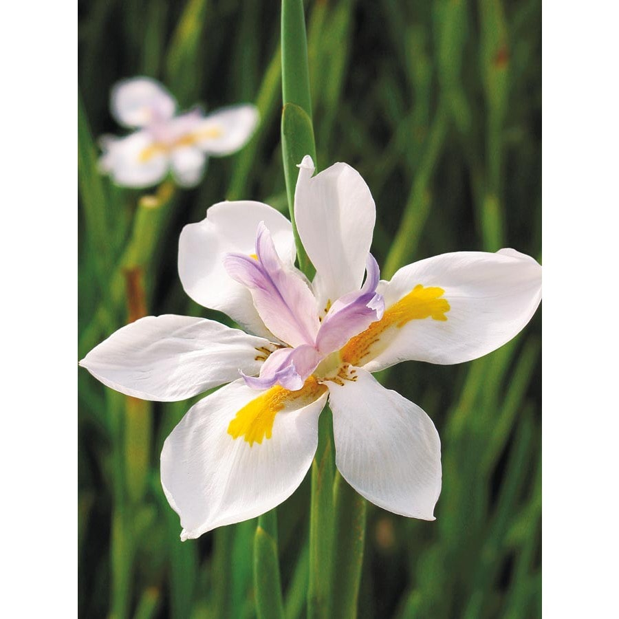2 Gallon African Iris L3155 At Lowes Com