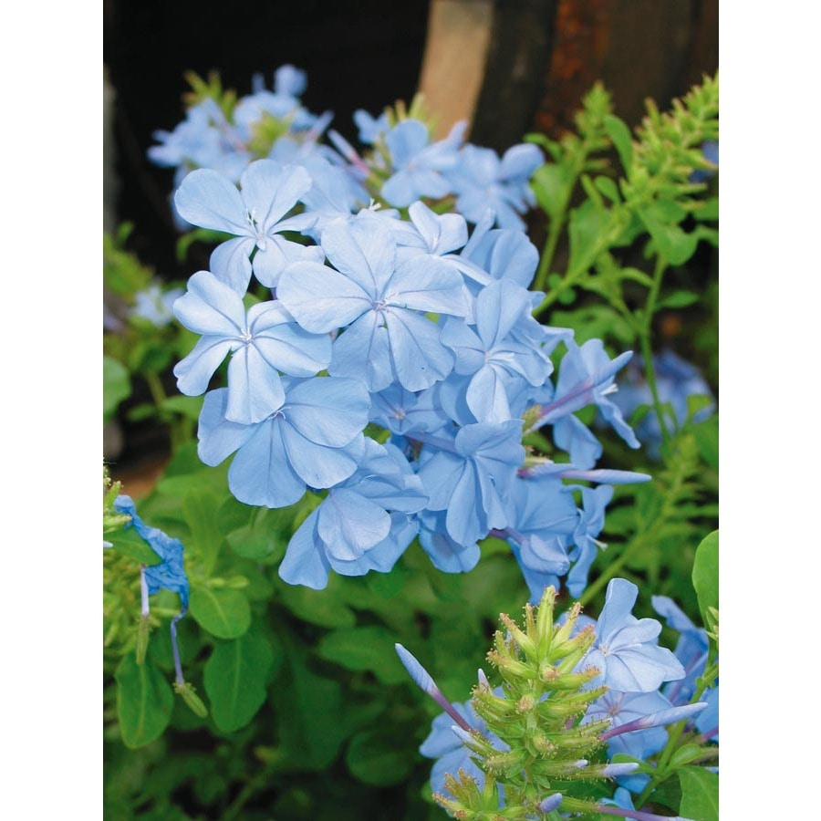 2 Gallon Blue Imperial Blue Plumbago Flowering Shrub In