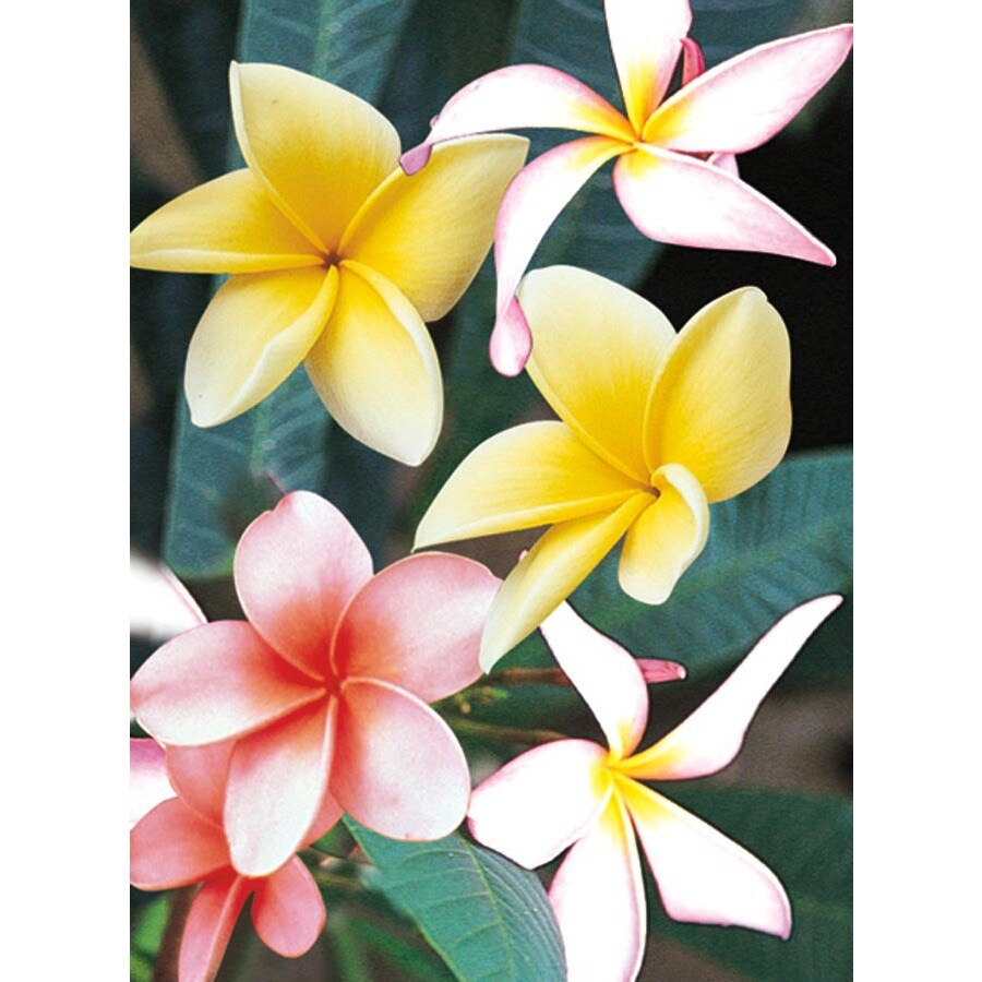 2-Gallon Multicolor Plumeria Flowering Shrub (L23275)