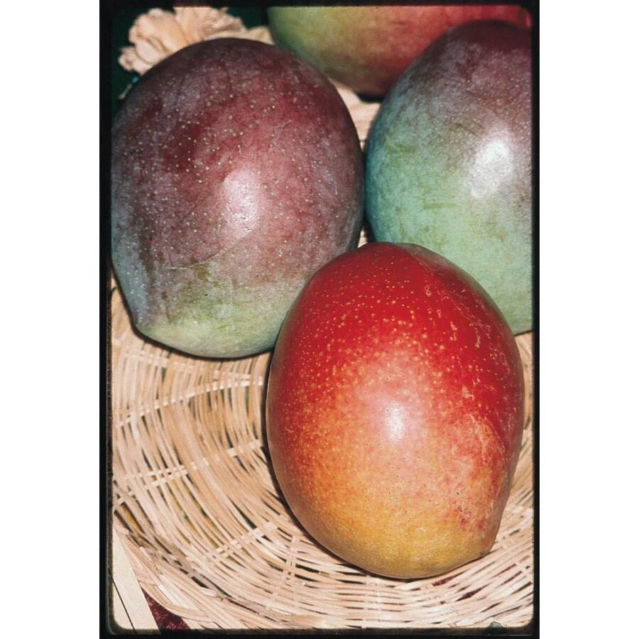 2-Gallon Mango Tree (L7606)