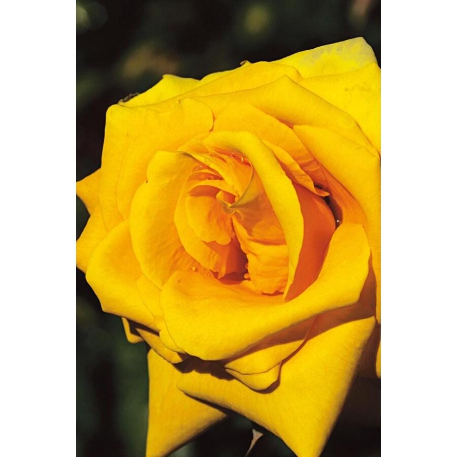 1.5-Gallon Grandmas Yellow Rose (LW02238)