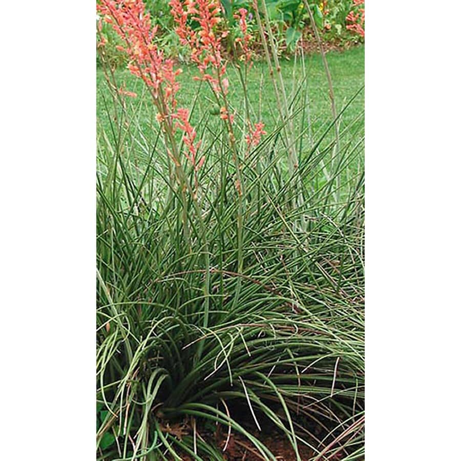 2-Gallon Red Red Yucca Feature Shrub (L7029)
