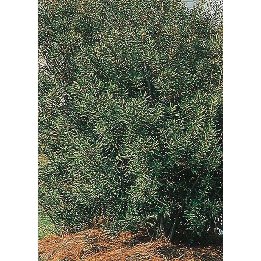 2.25-Gallon Southern Wax Myrtle Screening Shrub (L1370)