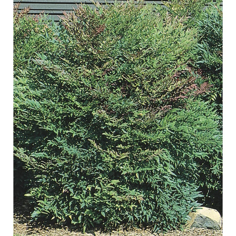 2.25-Gallon White Compact Heavenly Bamboo Accent Shrub (L5196)