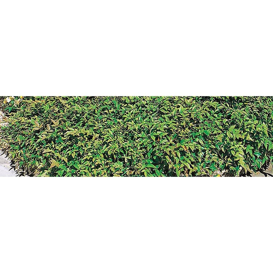 2-Gallon White Harbour Dwarf Nandina Accent Shrub (L4788)