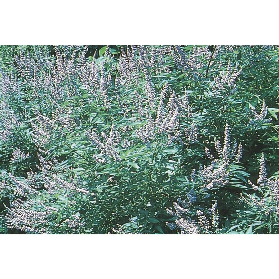 2.56-Gallon Texas Lilac Flowering Tree (L6328)
