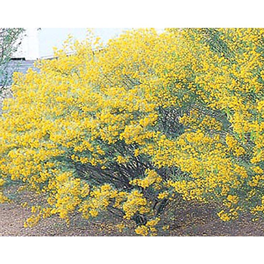 2.25-Gallon Yellow Desert Cassia Accent Shrub (L10717)