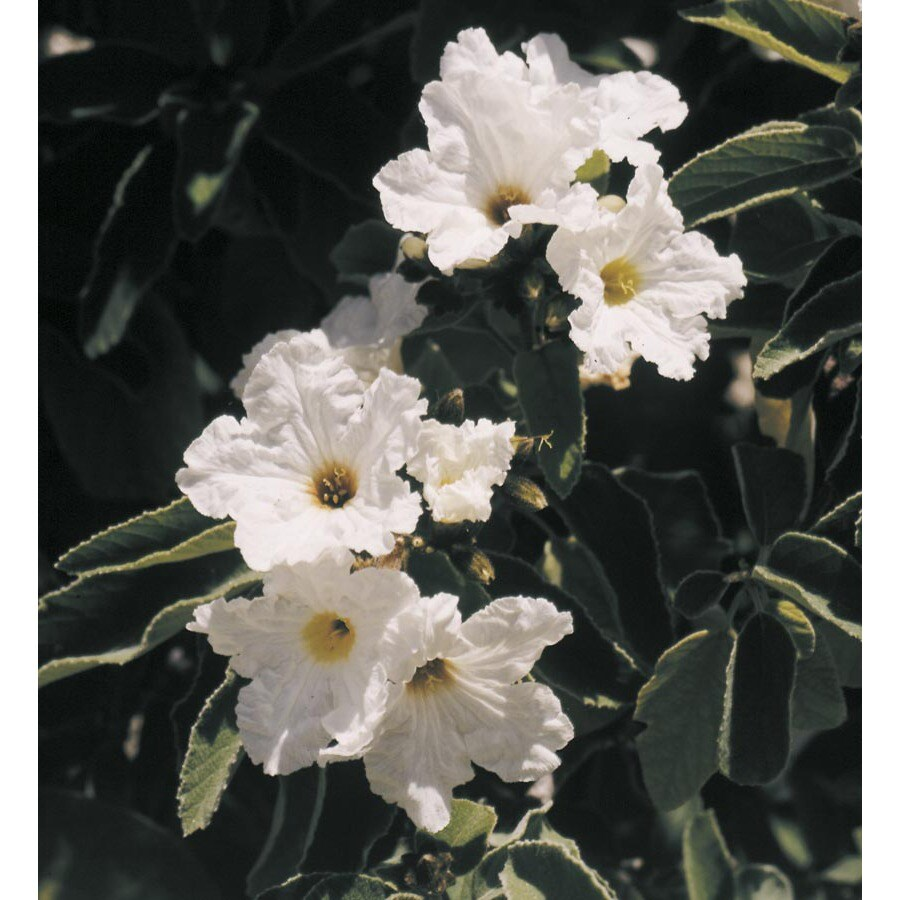 3.25-Gallon White Texas Olive Flowering Shrub (L22618)