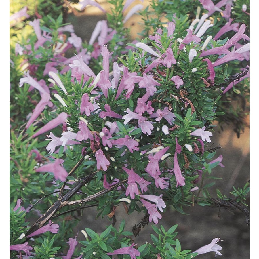 2.25-Gallon Lavender Mexican Oregano Flowering Shrub (L23606)