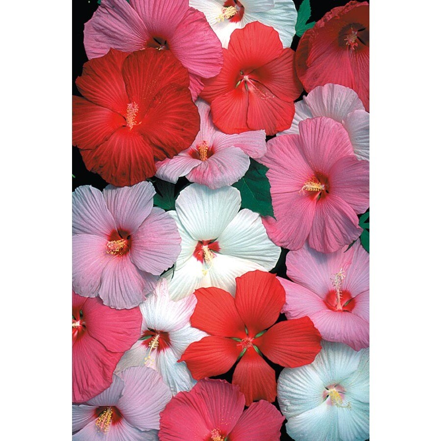 Shop 225 Gallon Potted Hardy Hibiscus L2556 At Lowes