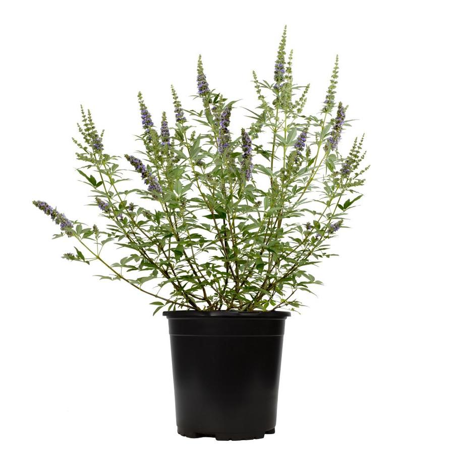 2-Gallon Blue Chaste Tree Accent Shrub (L7195)