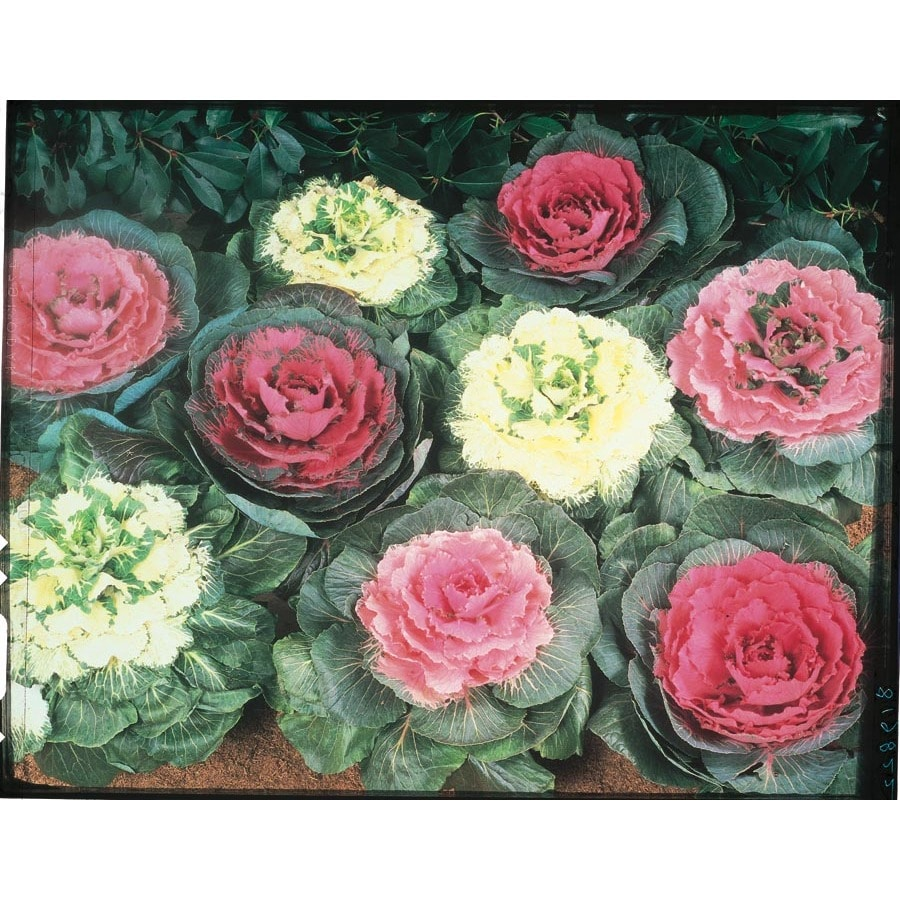1 Quart Ornamental Cabbage (LBP003)