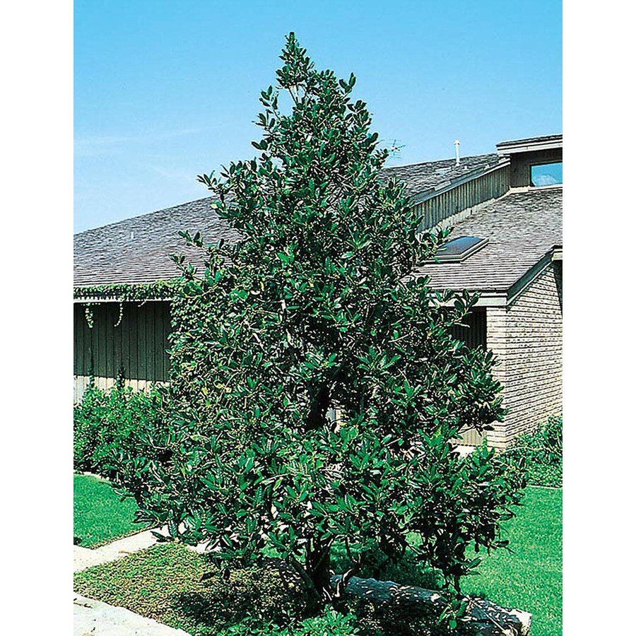 3-Gallon White Nellie R. Stevens Holly Feature Shrub (L3524)