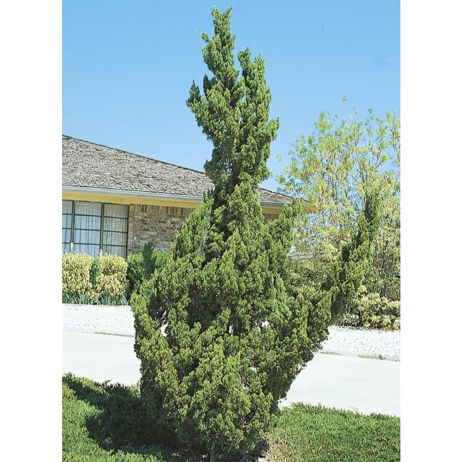 3.25-Gallon Hollywood Juniper Feature Shrub (L3041)