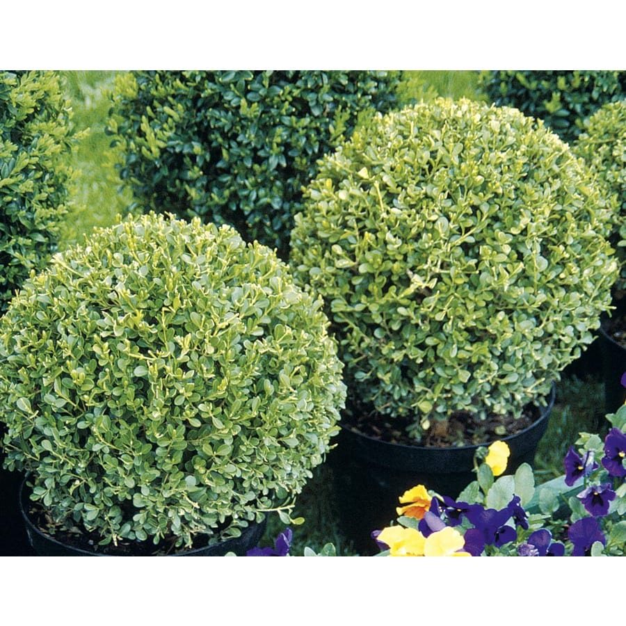 3-Gallon White Globe Boxwood Feature Shrub (L25856)