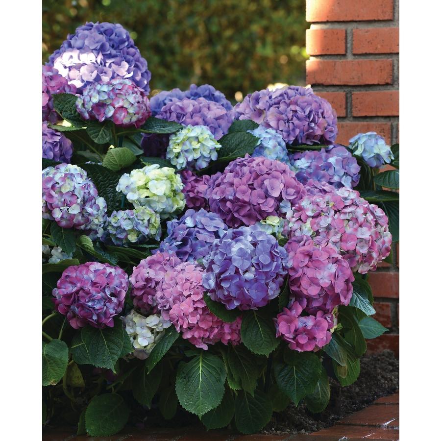 2 Gallon Blue Hydrangea La Dreamin Flowering Shrub In