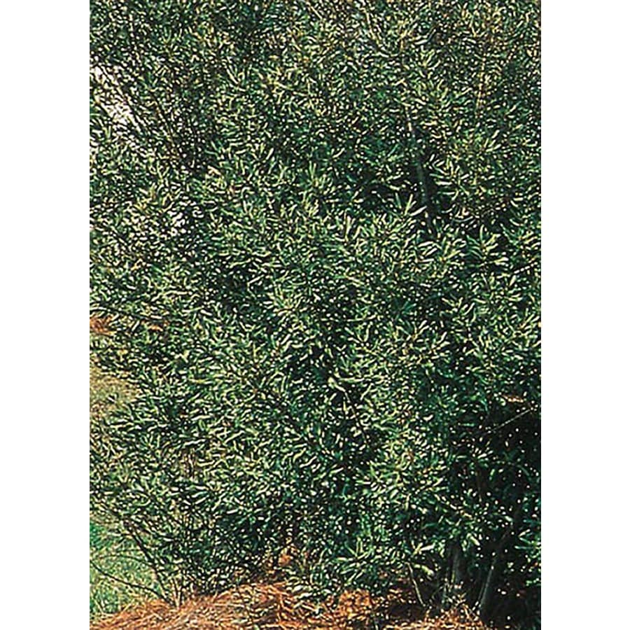 8-Gallon White Southern Wax Myrtle Screening Shrub (L1370)