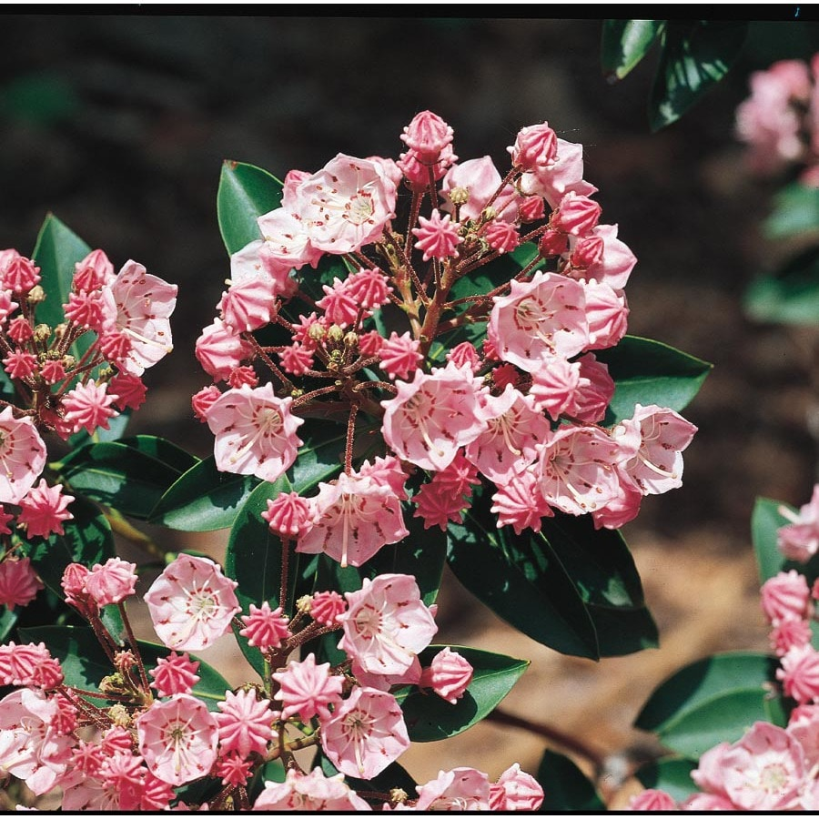 8gallon Multicolor Mountain Laurel Flowering Shrub (l3867)