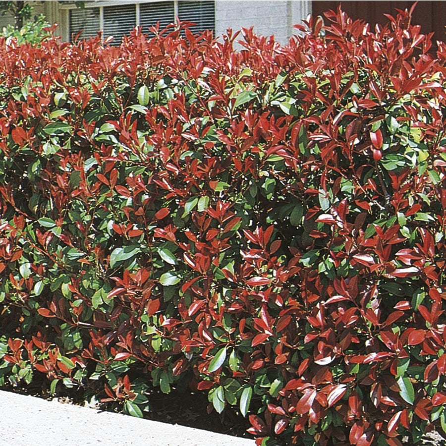 8.75-Gallon White Fraser's Photinia Screening Shrub (L11315)