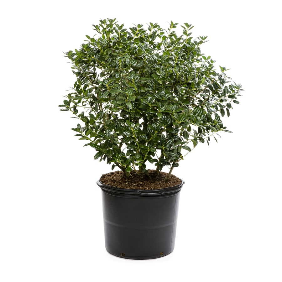 5-Gallon White Dwarf Burford Holly Foundation/Hedge Shrub (L7074)