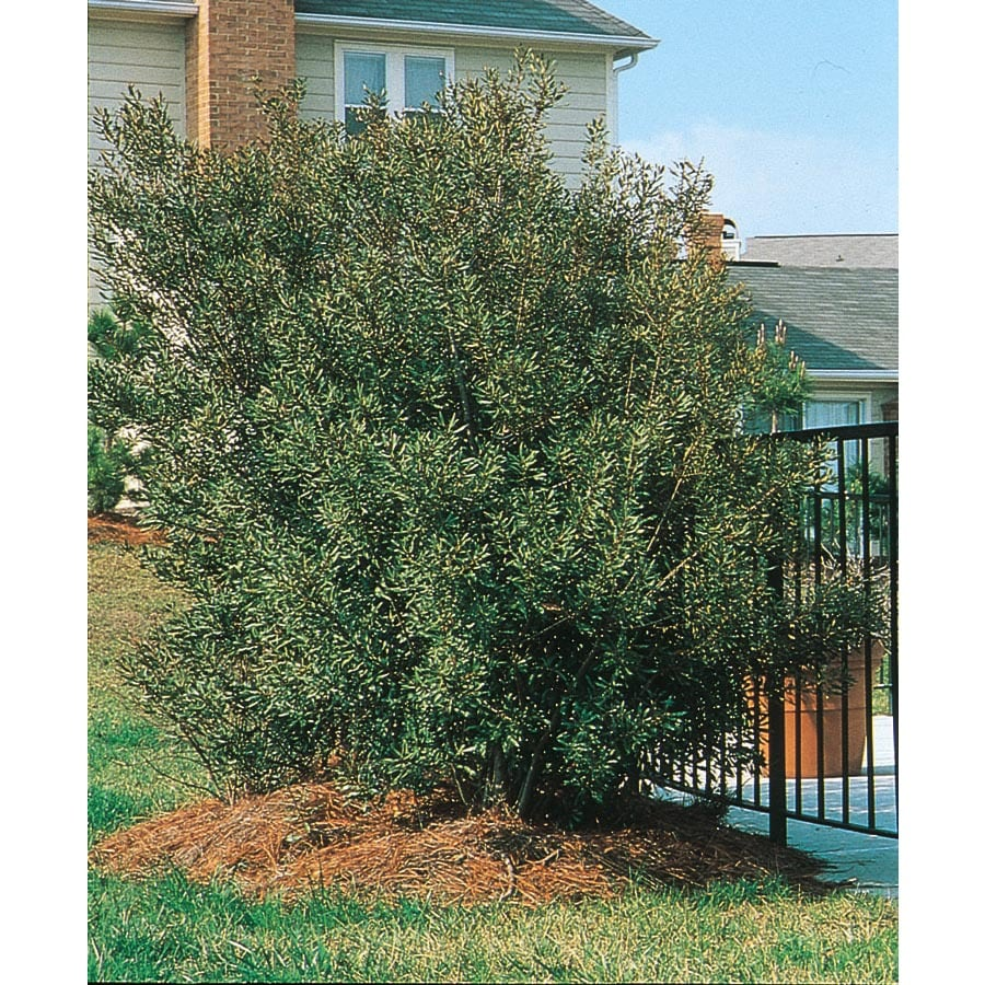 5-Gallon White Southern Wax Myrtle Screening Shrub (L1370)