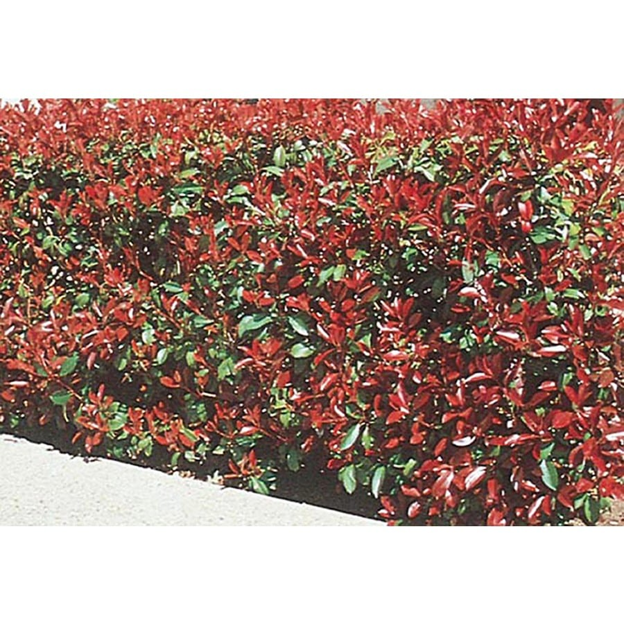 5-Gallon White Red Tip Photinia Screening Shrub (L3049)