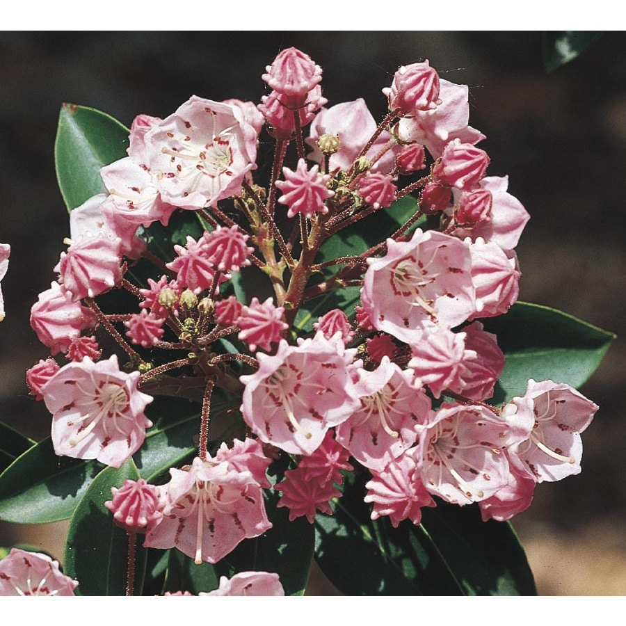 5gallon Multicolor Mountain Laurel Flowering Shrub (l3867)