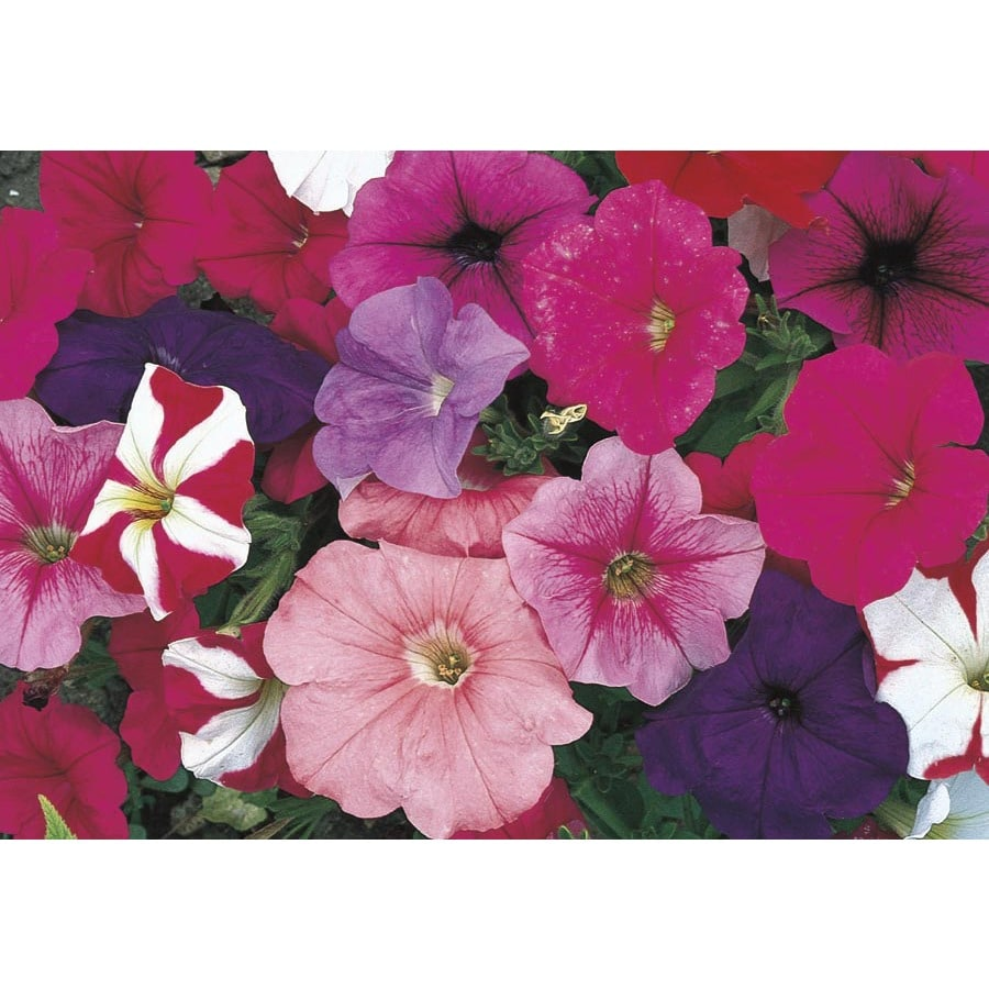 3-Quart Petunia (L17355)