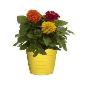 3-Quart Multicolor Zinnia in Pot (L6859)