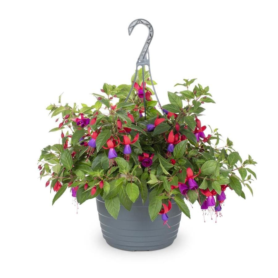 1.5-Gallon Fuchsia (L6592)