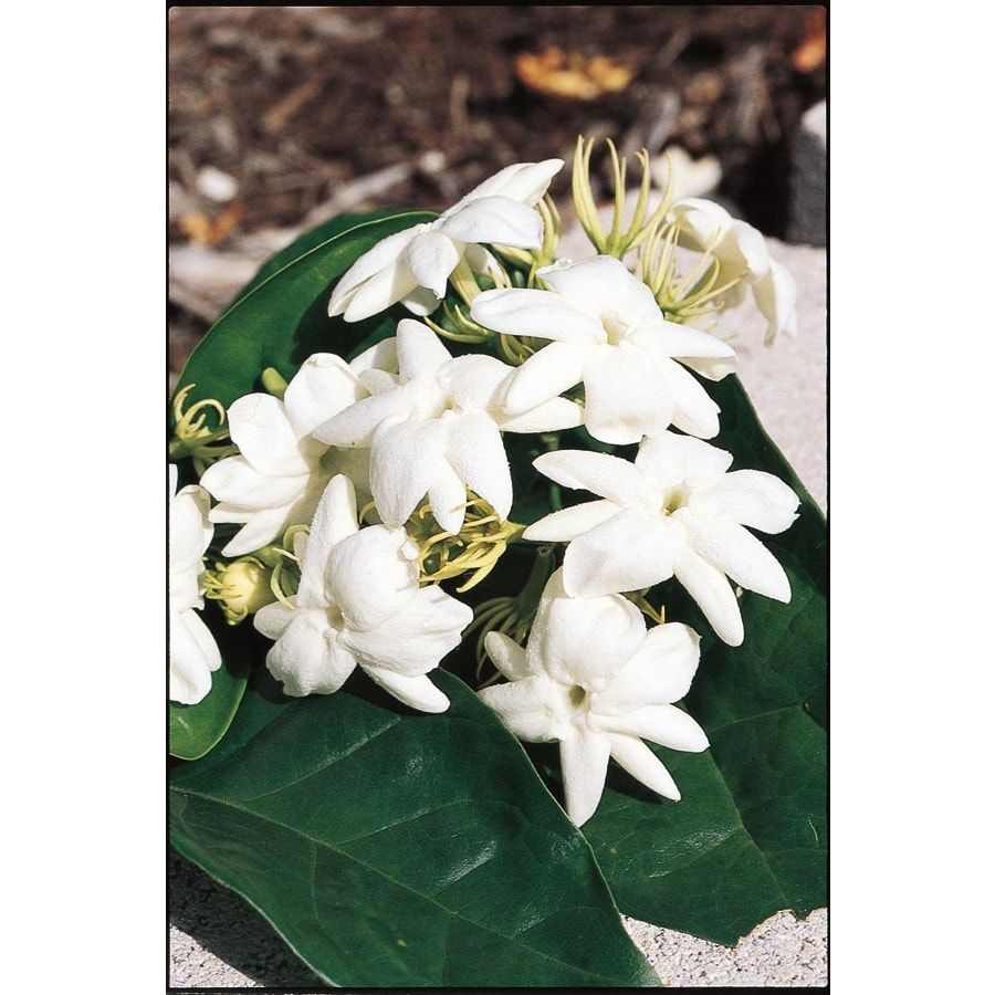 1-Quart White Arabian Jasmine Flowering Shrub (L5922)