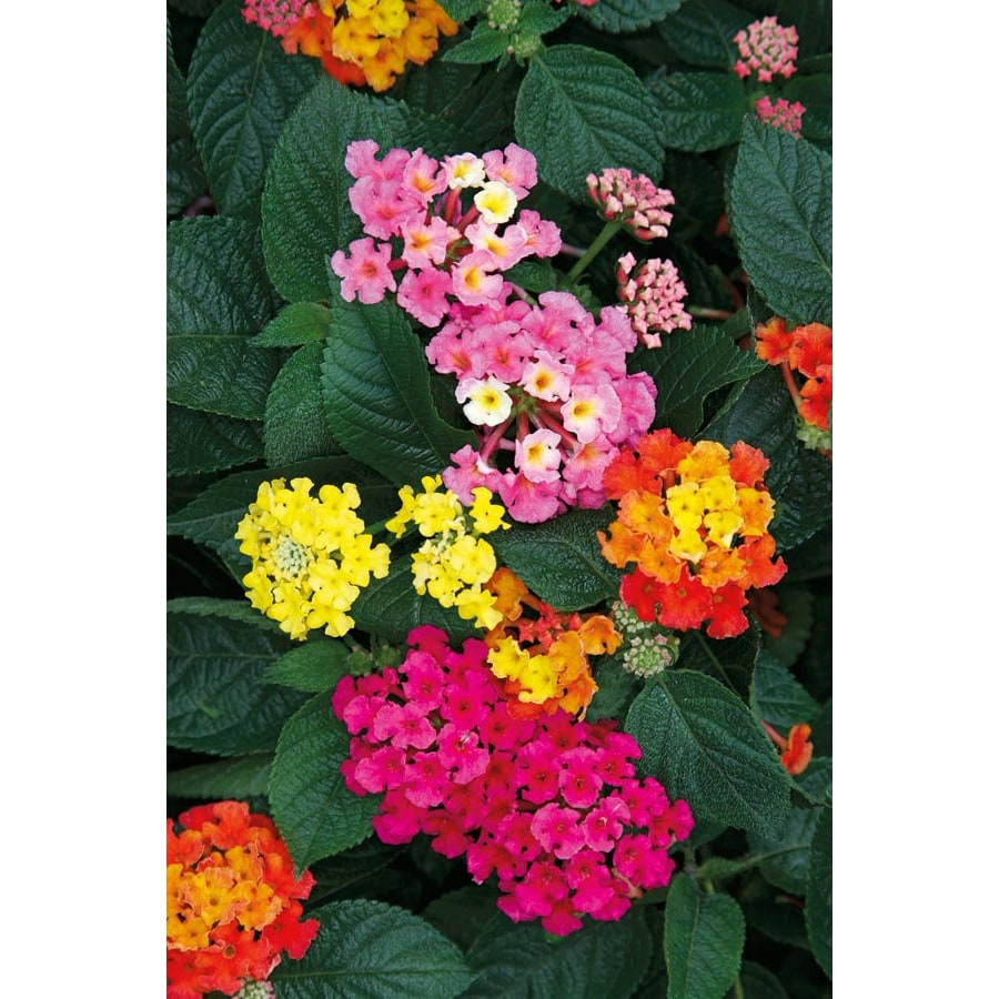 Shop 35 Quart Lantana L6708 At Lowes
