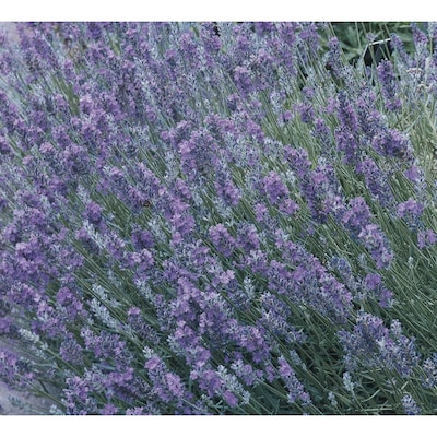 2 Gallon In Pot English Lavender L6071 At Lowes Com