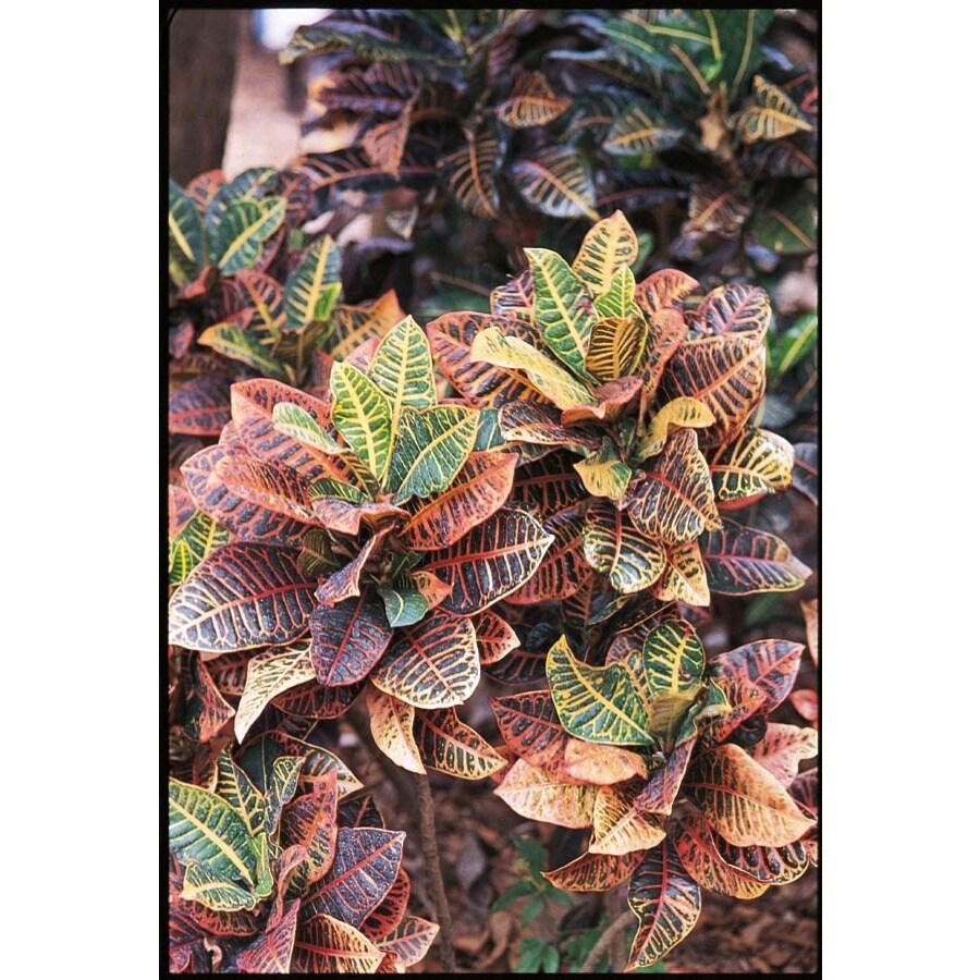 1.7-Gallon Assorted Croton (L5448)