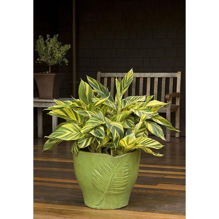 Monrovia 1.6-Gallon White Variegated Shell Ginger Flowering Shrub