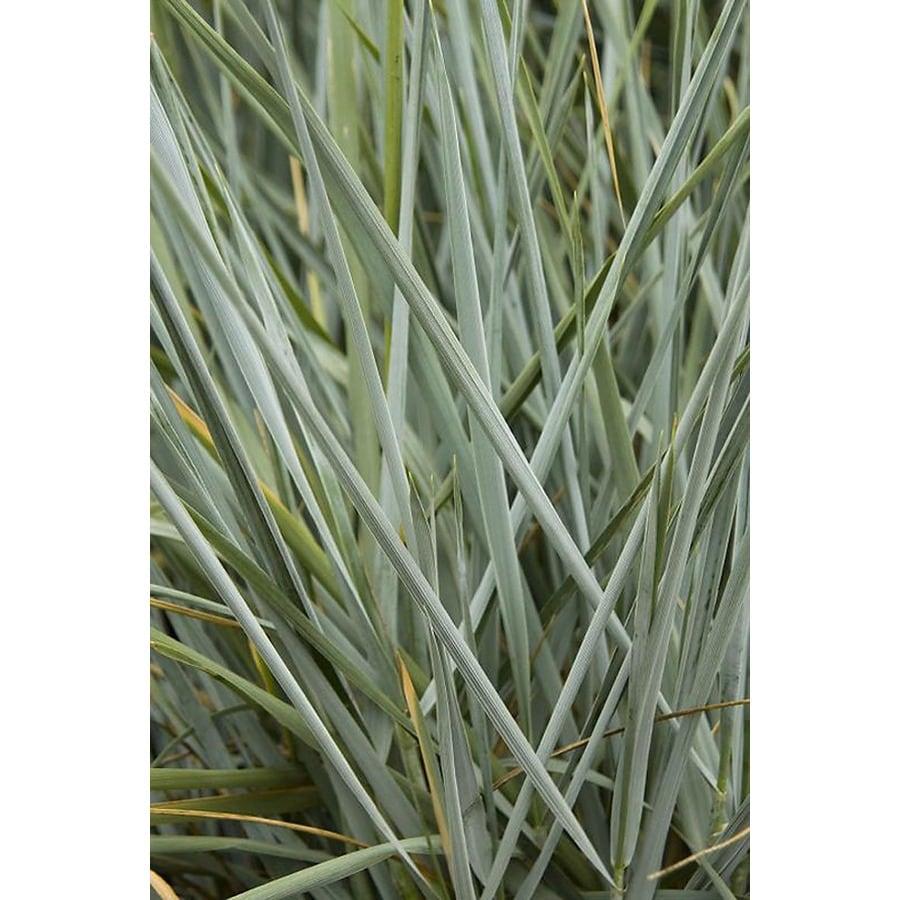 Blue lyme grass blue dune - Monrovia 3 58 Gallon Blue Dune Lyme Grass